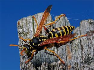 Siederlverein,Wespen - nur keine Panik!