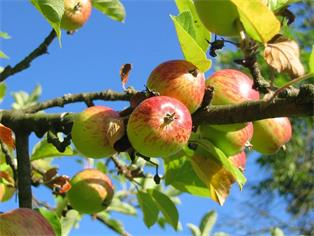 Schnitt der Obstgehölze