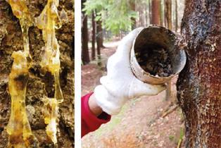 Baumharz für Weihrauch und Salben