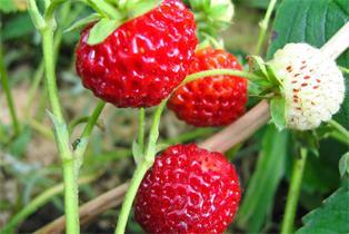 Grauschimmel bei Erdbeeren